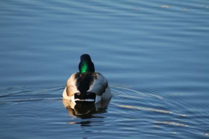 duck swimming away